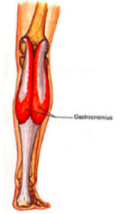 gastrocnemius_illustration
